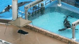 Según Peta las ballenas son mantenidas en tanques equivalentes al tamaño de una bañera en humanos.